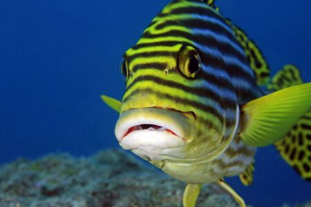 Oriental sweetlips in the tropical ocean Stock Photo - 12290725