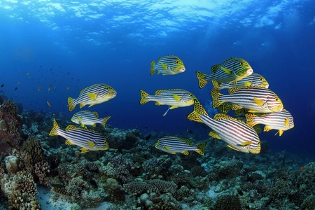 Shool of oriental sweetlips in the tropical reef photo