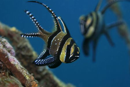 Banggai cardinalfish in the tropical waters of indonesia photo