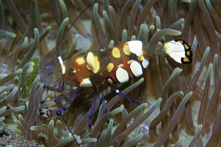 Pacific clown anemone shrimp and sea anemone Stock Photo - 12560144
