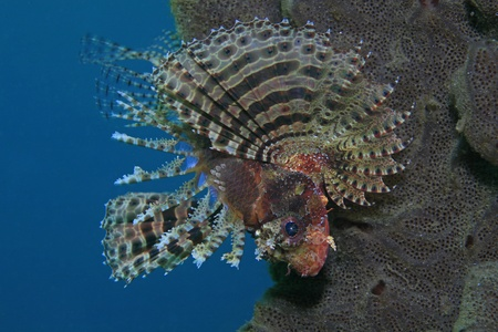 wildlive: Shortfin lionfish in the tropical waters of Bali