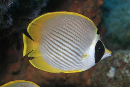 Panda butterflyfish in the coral reef