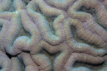 Brain coral in the tropical reef photo