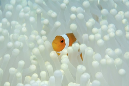 amphiprion ocellaris: Clown anemonefish and white sea anemone  Stock Photo