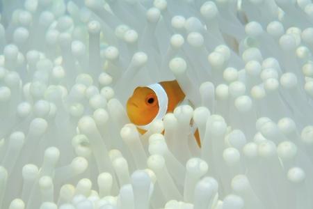 Clown anemonefish and white sea anemone  Stock Photo