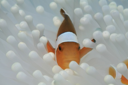 pez payaso: Clown anemonefish blanco y la anémona de mar