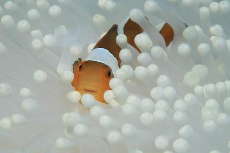 Clown anemonefish en witte zee-anemoon