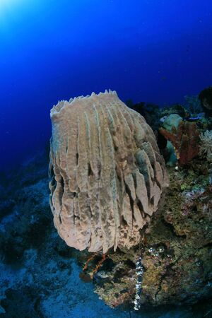 Sponge in the tropical coral reef  photo
