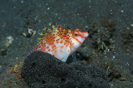 Dwarf hawkfish in the tropical waters of bali photo