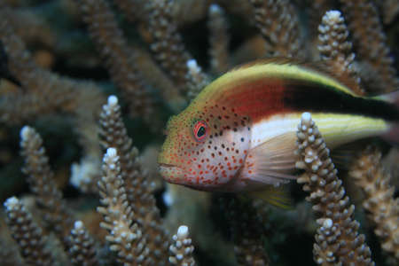 wildlive: Freckled hawkfish on tropical coral