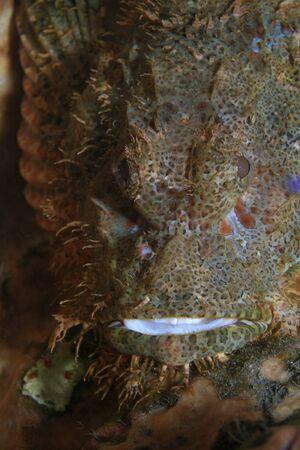 Flathead scorpionfish in the coral reef photo