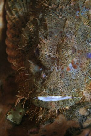 Flathead scorpionfish in the coral reef photo
