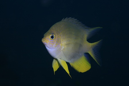 damsel: Golden damselfish in the tropical waters of bali