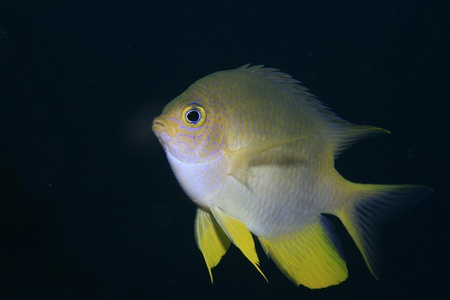 damselfish: Golden damselfish in the tropical waters of bali