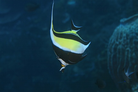 zanclus cornutus: Moorish idol in the tropical waters of indonesia