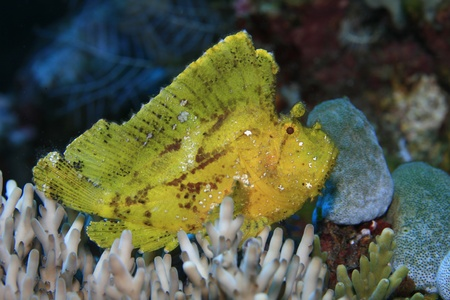 sealive: Leaf scorpionfish in the tropical reef Stock Photo