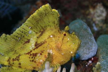 Leaf scorpionfish in the tropical reef photo