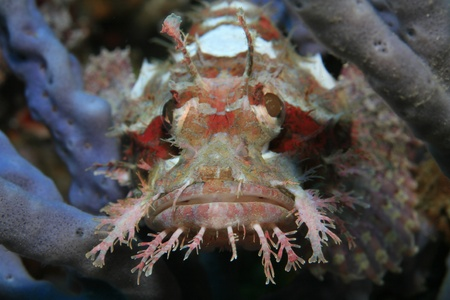 Raggy scorpionfish in the coral reef photo