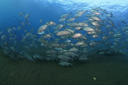 School of bigeye jacks photo
