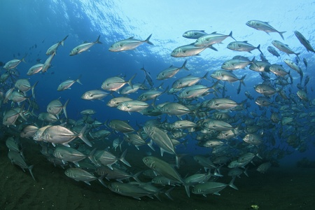 jacks: School of bigeye jacks