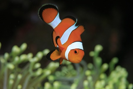 Clownfish and yellow sea anemone  photo