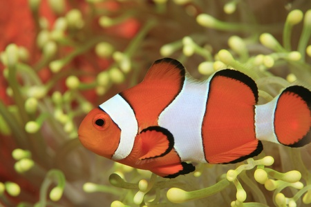 clown fish amphiprion: Clownfish and yellow sea anemone  Stock Photo