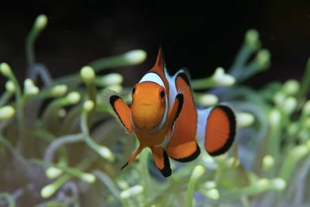 Anemoonvissen en gele zee-anemoon Stockfoto