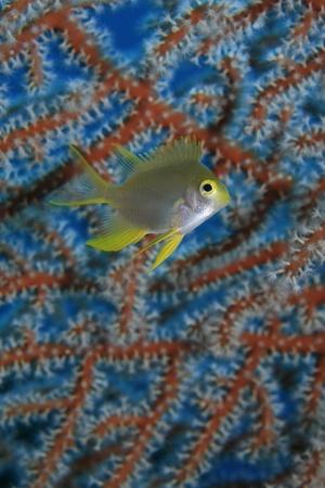 sealive: Golden damselfish in front of sea fan