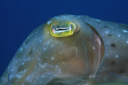 Eye of broadclub cuttlefish