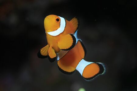 pez payaso: Clown anemonefish Foto de archivo