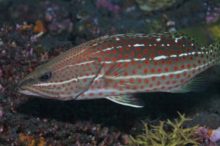 Slender grouper in the coral reef  photo