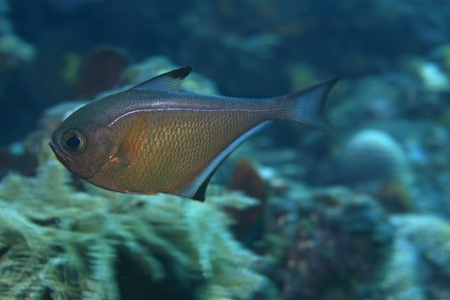 sealive: Black edged sweeper in the coral reef
