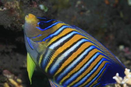 Regal angelfish in tropical waters  Stock Photo - 13811282