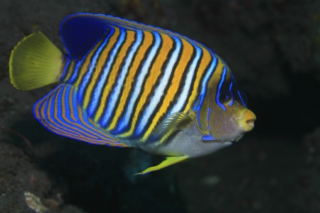 sealive: Regal angelfish in tropical waters  Stock Photo