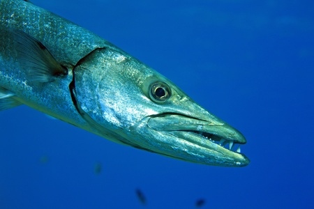 Barracuda in the blue ocean photo