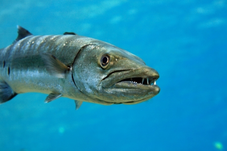 Barracuda in the blue ocean photo