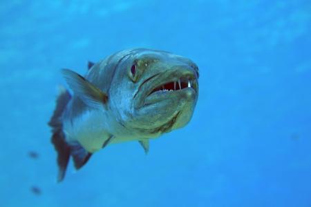 barracuda: Barracuda in the blue ocean