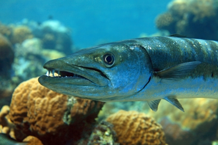 wildlive: Barracuda in the coral reef Stock Photo
