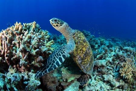 sealive: Sea turtle  Stock Photo
