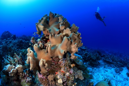 Coral reef and scuba diver Stock Photo