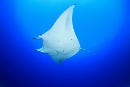 free diving: Manta ray