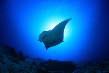 Manta ray in het blauwe water van de oceaan
