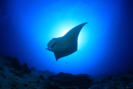 Manta ray in the blue water of the ocean