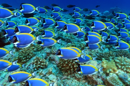 Shool of powder blue tang in the coral reef