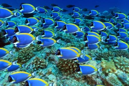 Shool van poeder blauwe tang in het koraalrif Stockfoto