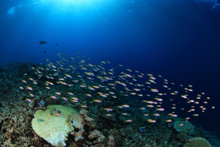 School of small fish in the coral reef photo