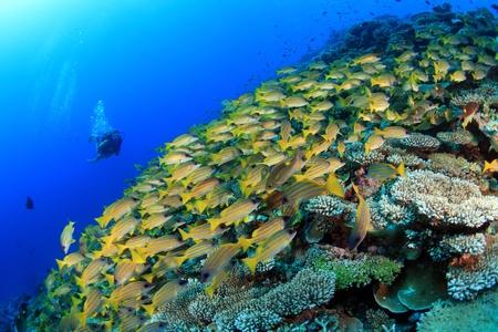 Coral reef and scuba diver 免版税图像