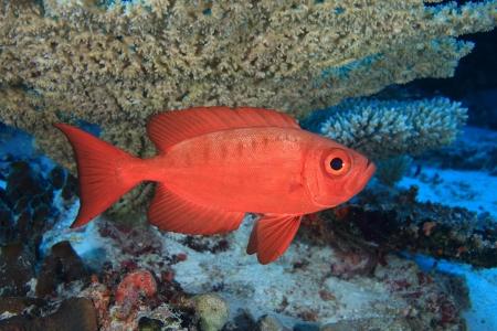 Bigeye perch in the coral reef