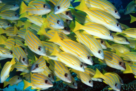 dive trip: Bluestripe snappers in the coral reef Stock Photo