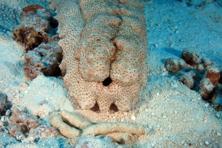 wildlive: Sea Cucumber on the sandy bottom